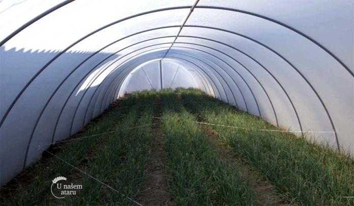 Agrosaveti---Proizvodnja-mladog-luka-u-plastenicima---01