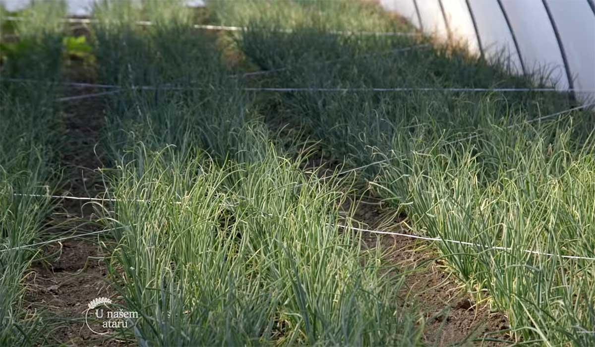 Agrosaveti---Proizvodnja-mladog-luka-u-plastenicima---02