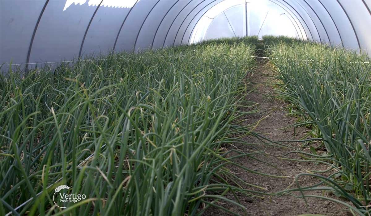 Agrosaveti---Proizvodnja-mladog-luka-u-plastenicima---03