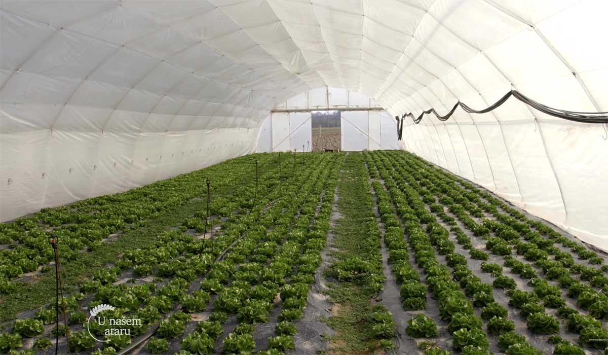 Agrosaveti---Proizvodnja-povrca-u-selu-Jelenca---01