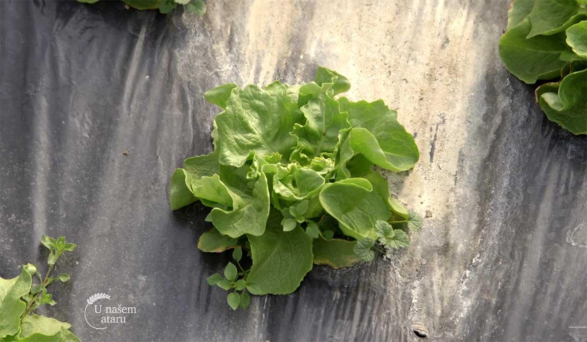 Agrosaveti---Proizvodnja-povrca-u-selu-Jelenca---03