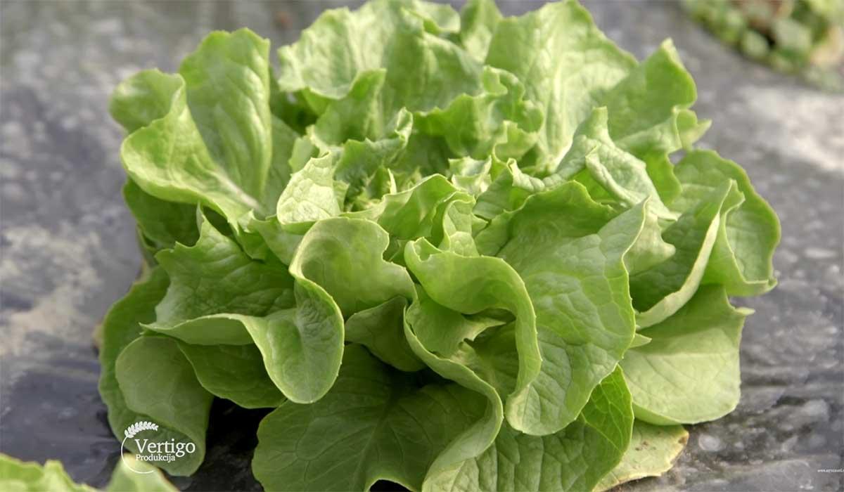 Agrosaveti---Proizvodnja-povrca-u-selu-Jelenca---04