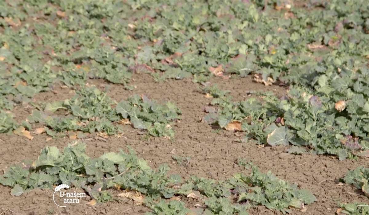 Agrosaveti---Ratarska-proizvodnja-u-Bajmoku---01