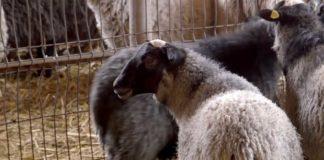 Agrosaveti---Romanovske-ovce-u-selu-Vajska---01