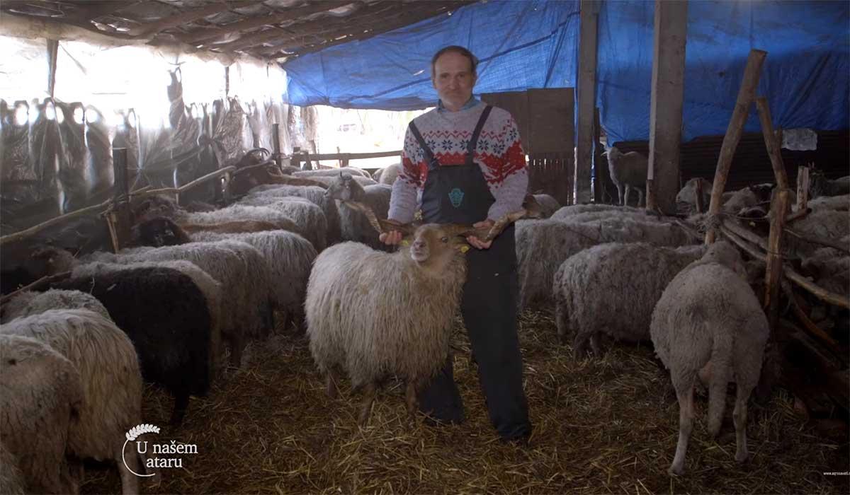 Agrosaveti---Uzgoj-ovaca-Vitoroga-zuja---01