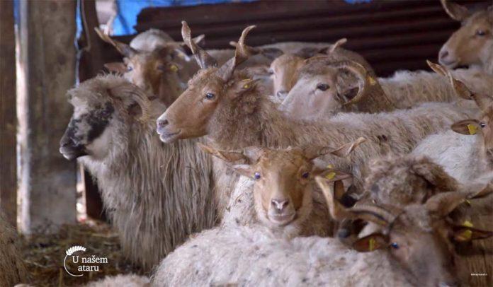 Agrosaveti---Uzgoj-ovaca-Vitoroga-zuja---03