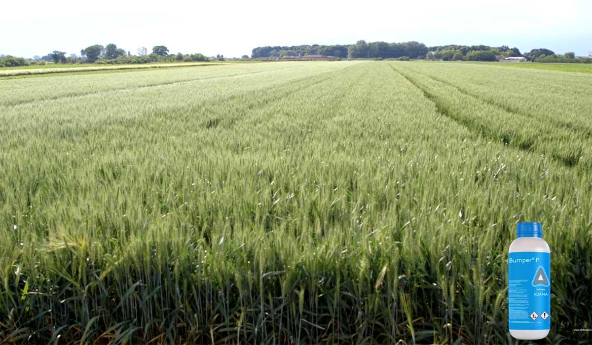 Agrosaveti---Adama---Bumper-P---Zamir---psenica---02