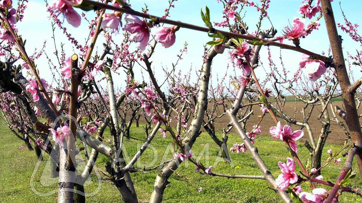 Agrosaveti---Adama---Kajsija---Breskve---kosticavo-voce---cvetanje---Monilia---supljikavost-lista-01