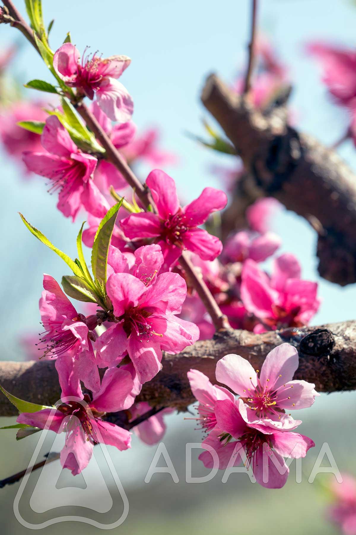 Agrosaveti---Adama---Kajsija---Breskve---kosticavo-voce---cvetanje---Monilia---supljikavost-lista-02