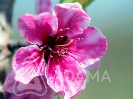 Agrosaveti---Adama---Kajsija---Breskve---kosticavo-voce---cvetanje---Monilia---supljikavost-lista