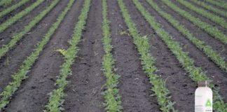 Agrosaveti---Adama---Saltus---soja---01