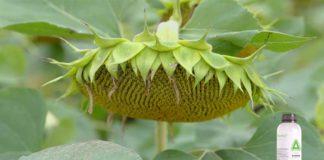 Agrosaveti---Adama---Saltus---suncokret---03