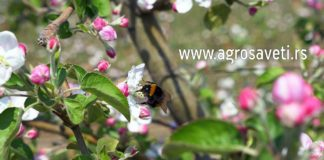Agrosaveti---Cadjava-krastavost-03