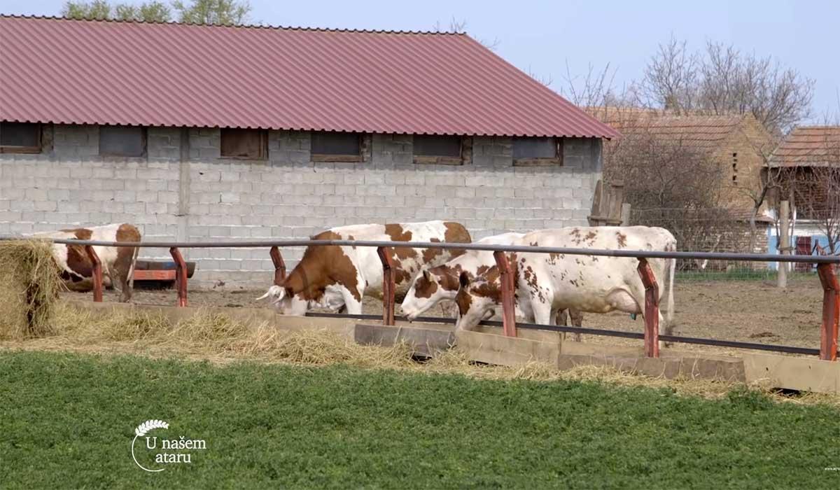 Agrosaveti---Farma-krava---mleko---Tomasevac---02