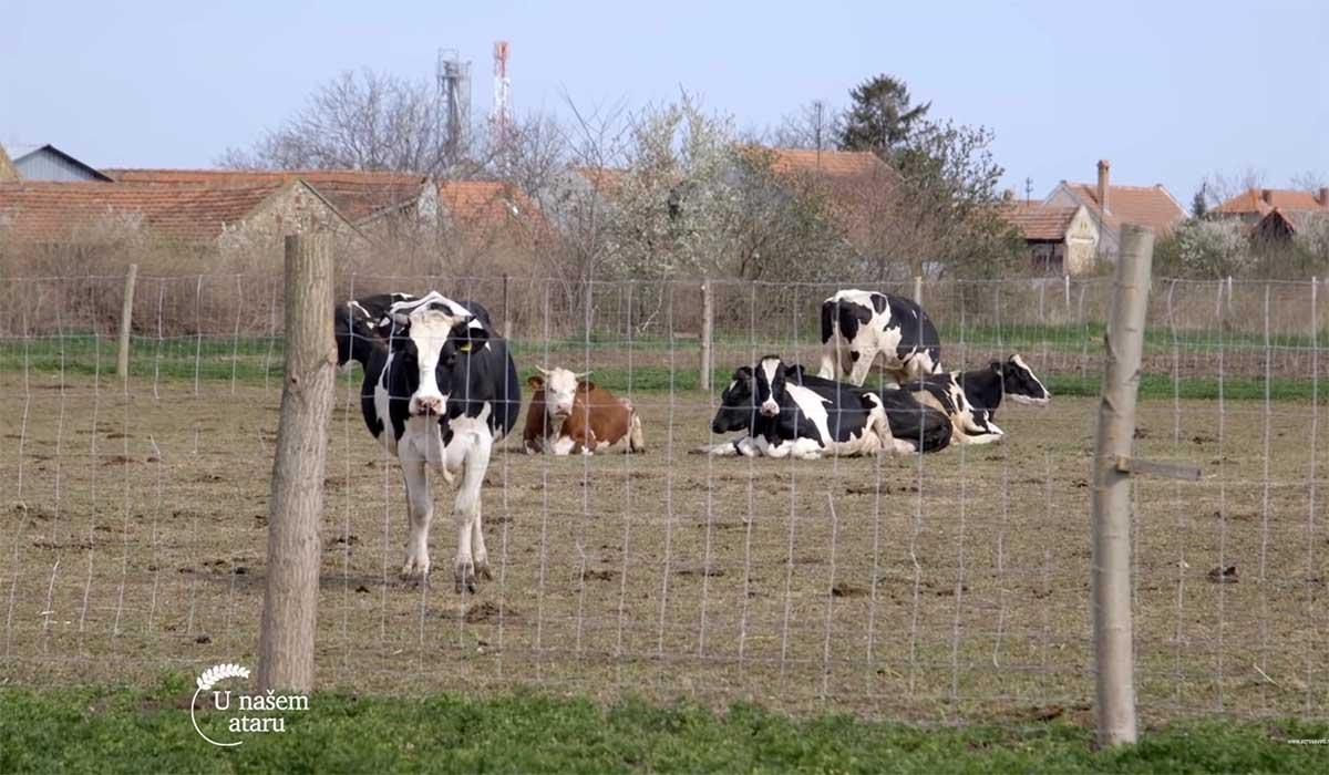 Agrosaveti---Farma-krava---mleko---Tomasevac---03