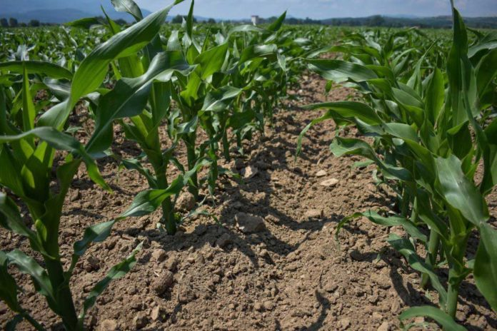 Agrosaveti---Galenika-fitofarmacija---dobar-kukuruz-small