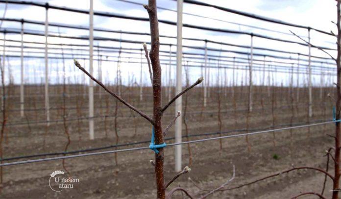 Agrosaveti---Mlad-zasad-jabuke-u-Starcevu---01