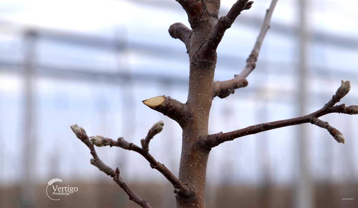 Agrosaveti---Mlad-zasad-jabuke-u-Starcevu---03