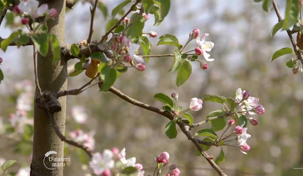 Agrosaveti---Niske-cene-jabuka---01