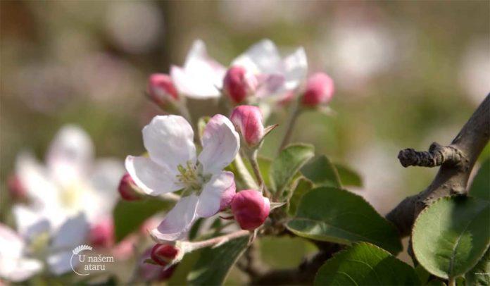 Agrosaveti---Niske-cene-jabuka---02