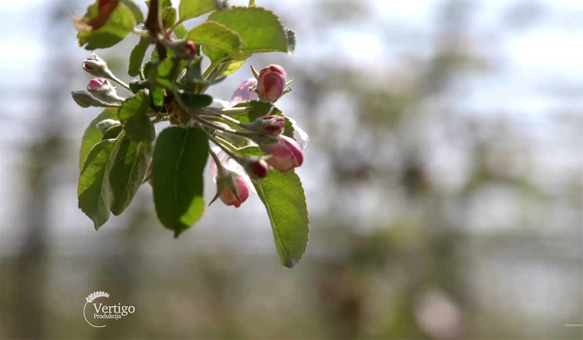 Agrosaveti---Niske-cene-jabuka---03