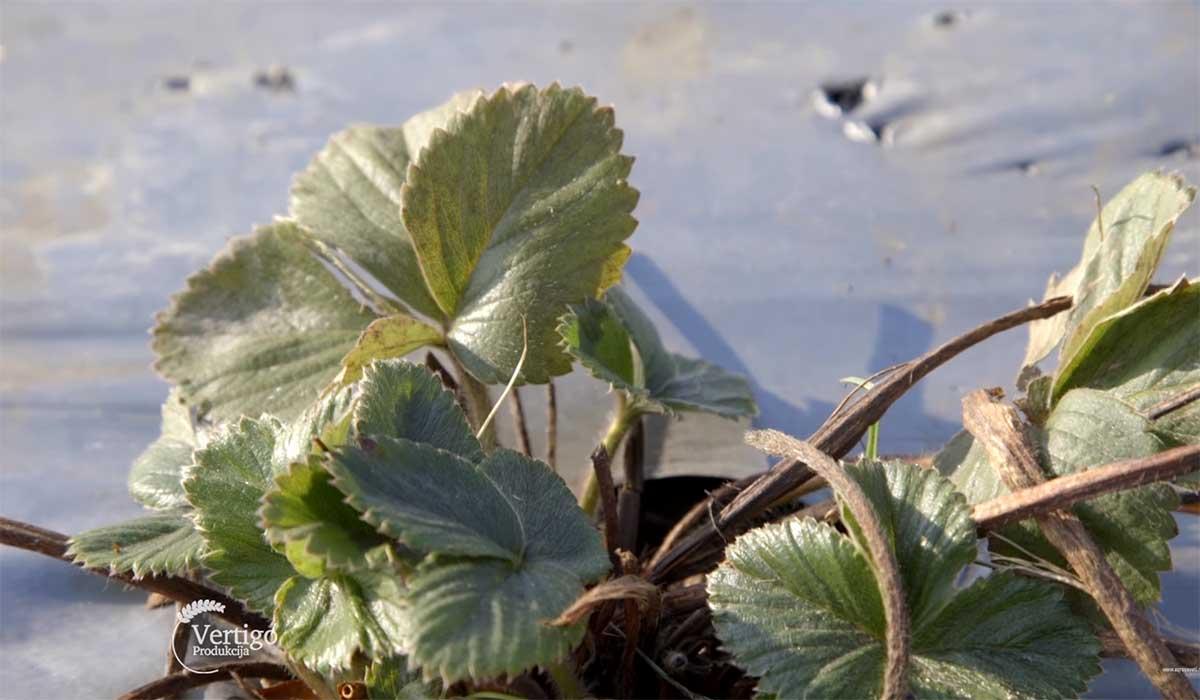 Agrosaveti---Pocerska-jagoda---03