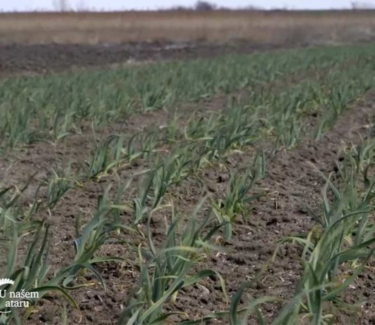 Agrosaveti---Proitvodnja-povrca-Glogonj---03