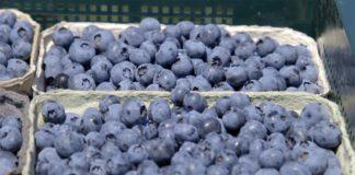 Agrosaveti---Proizvodnja-borovnice-u-Srbiji---02