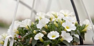 Agrosaveti---Proizvodnja-cveca-Lopusnik---01