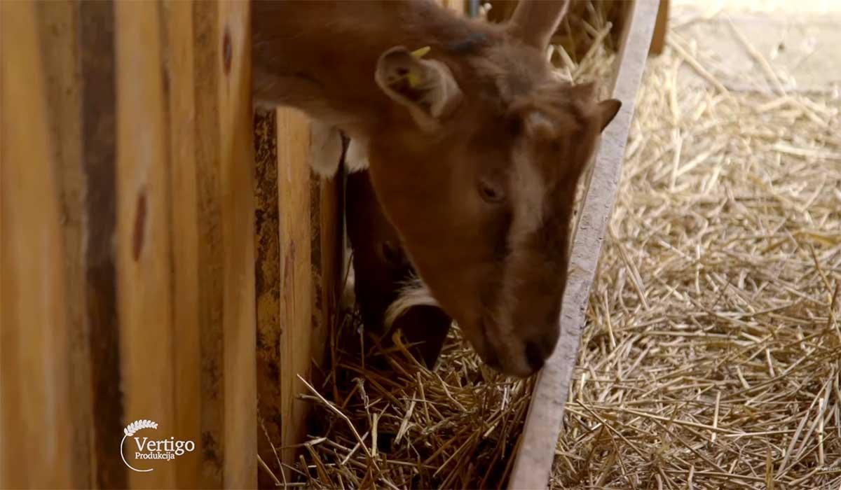 Agrosaveti---Proizvodnja-kozjih-sireva---02