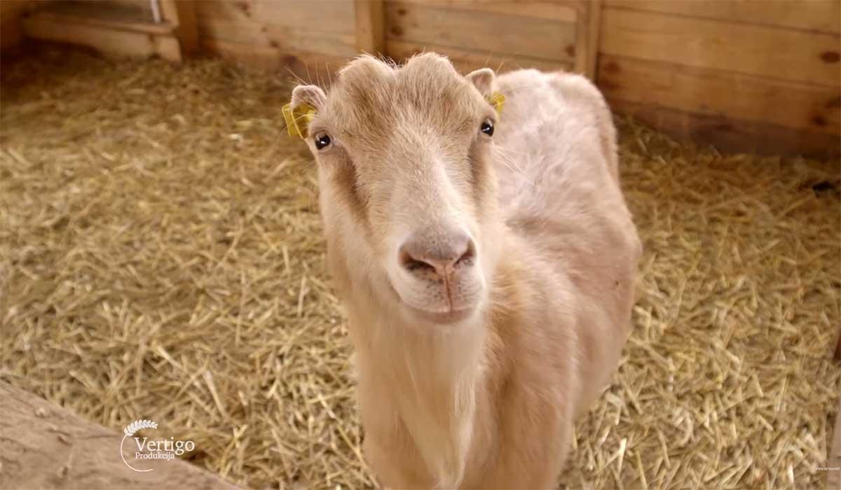 Agrosaveti---Proizvodnja-kozjih-sireva---03