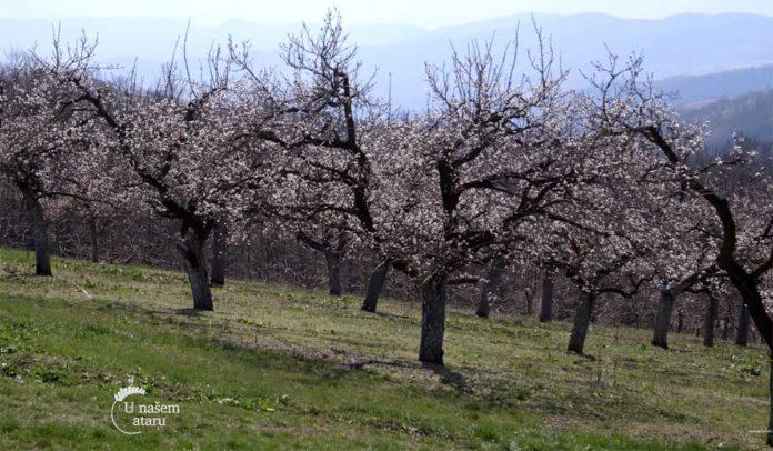 Agrosaveti---Uzgoj-kajsija-u-Miokovcima---01