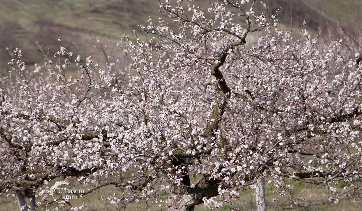 Agrosaveti---Uzgoj-kajsija-u-Miokovcima---02