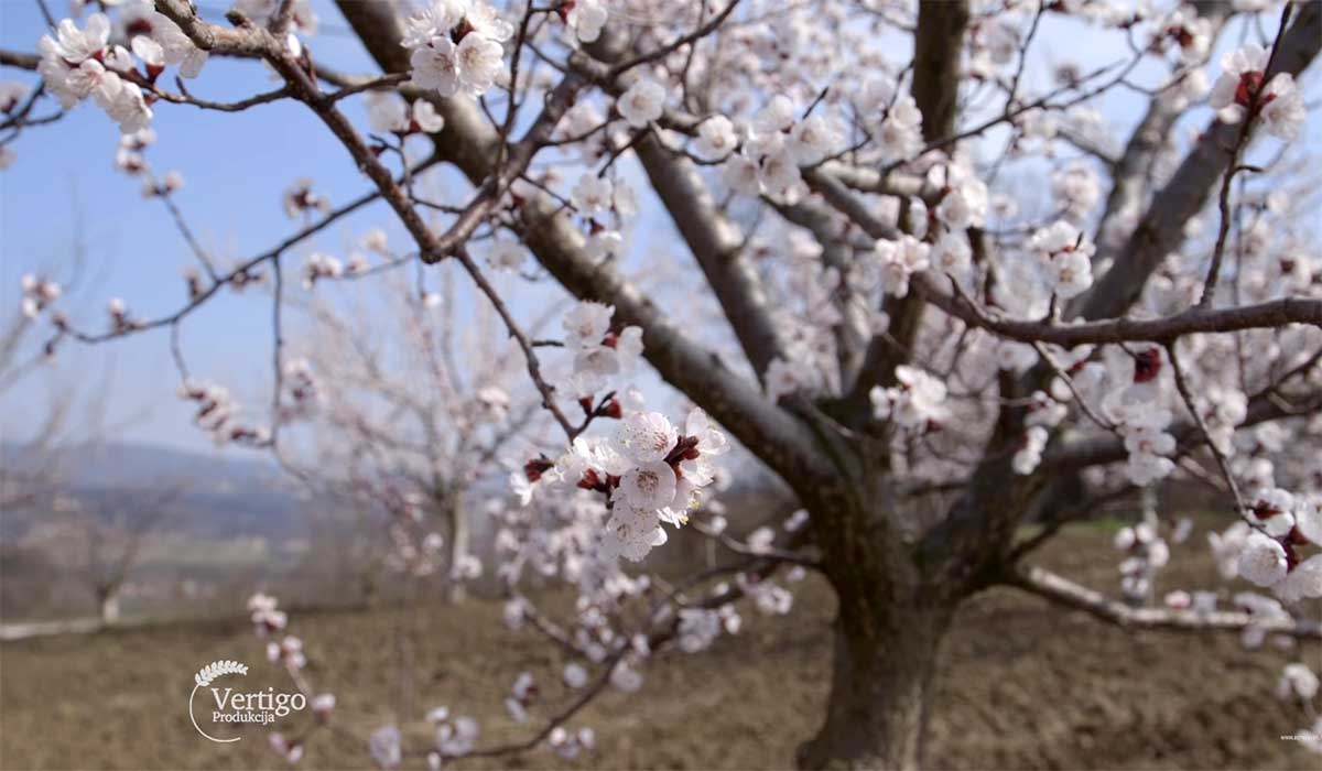 Agrosaveti---Uzgoj-kajsija-u-Miokovcima---03
