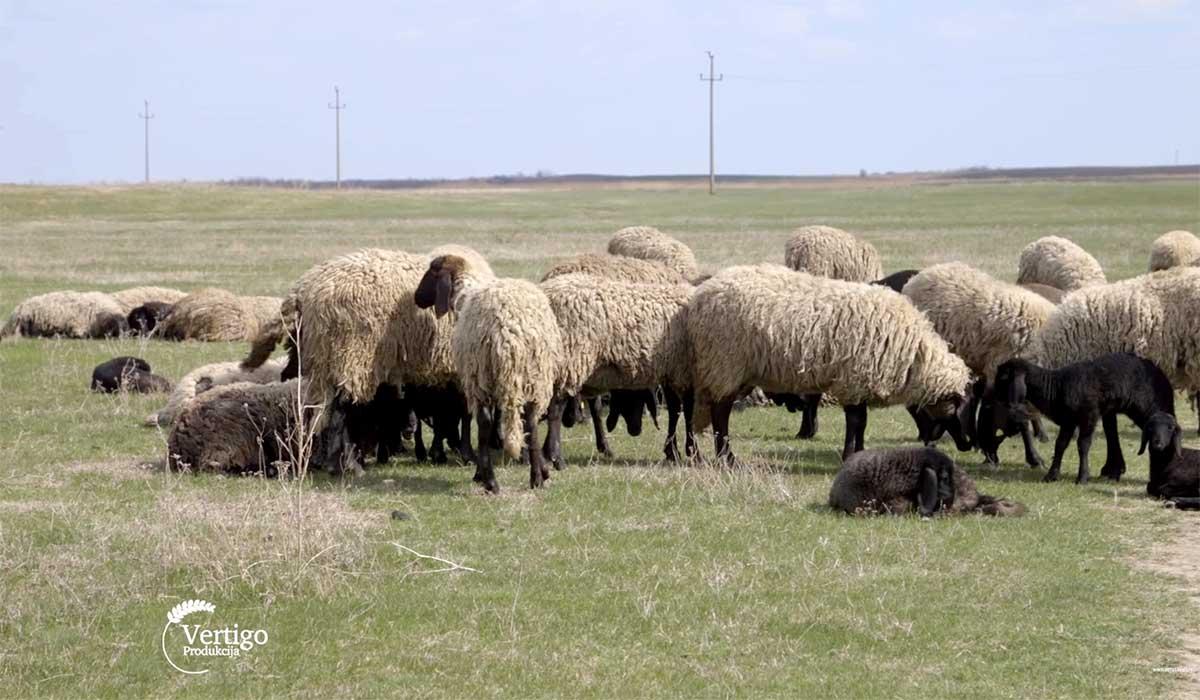 Agrosaveti---Uzgoj-ovaca-rase-cigaja-Tomasevac---02
