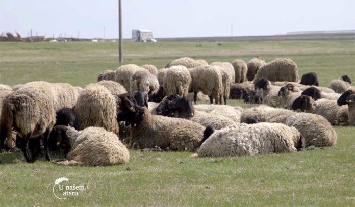 Agrosaveti---Uzgoj-ovaca-rase-cigaja-Tomasevac---03