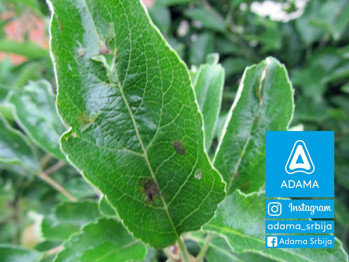 Agrosaveti---Adama---jabuka---cadjava-pegavost---krastavost-jabuke---zastita-jabuke---bolesti-jabuke-02