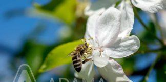 Agrosaveti---Adama---jabuka---cvet-jabuke---pocetna-faza---embrelia-02