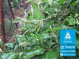 Agrosaveti---Adama---jabuka---pepelnica---pepelnica-jabuke---zastita-jabuke---bolesti-jabuke