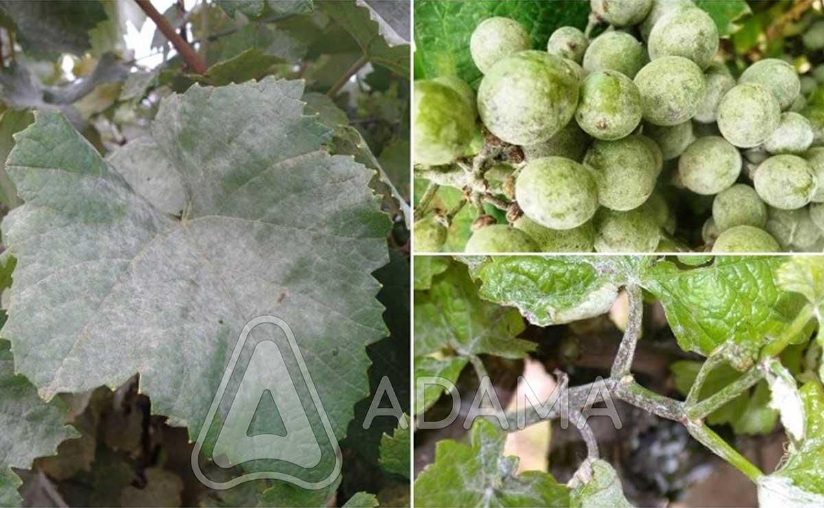 Agrosaveti---Adama---vinova-loza---pepelnica--Linus---Shavit