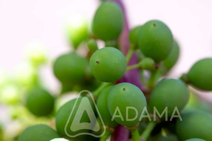 Agrosaveti---Adama---vinova-loza---plamenjaca---pepelnica---siva-trulez---Linus---Shavit-02