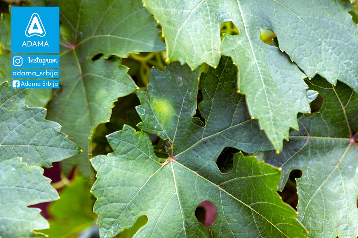Agrosaveti---Adama---vinova-loza---plamenjaca---pepelnica---siva-trulez---Linus---Shavit