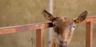 Agrosaveti---Alpino-koze---Kikinda---02