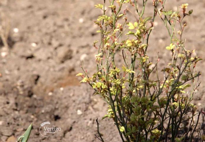 Agrosaveti---Lekovito-bilje-Rtanj---01
