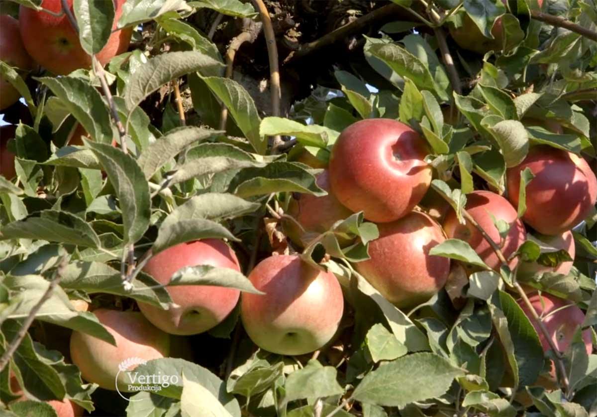 Agrosaveti---Proizvodnja-jabuka-u-Surduku---01
