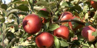 Agrosaveti---Proizvodnja-jabuka-u-Surduku---02
