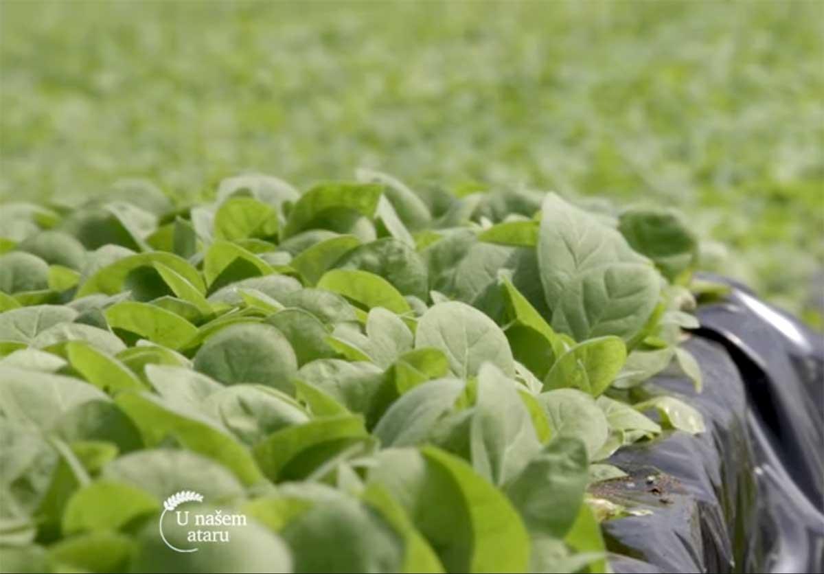 Agrosaveti---Proizvodnja-rasada-duvana---01