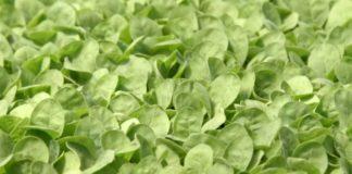 Agrosaveti---Proizvodnja-rasada-duvana---02
