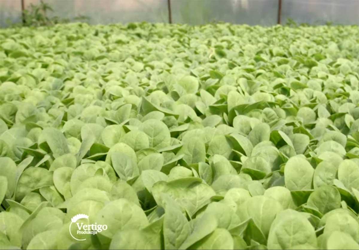 Agrosaveti---Proizvodnja-rasada-duvana---03
