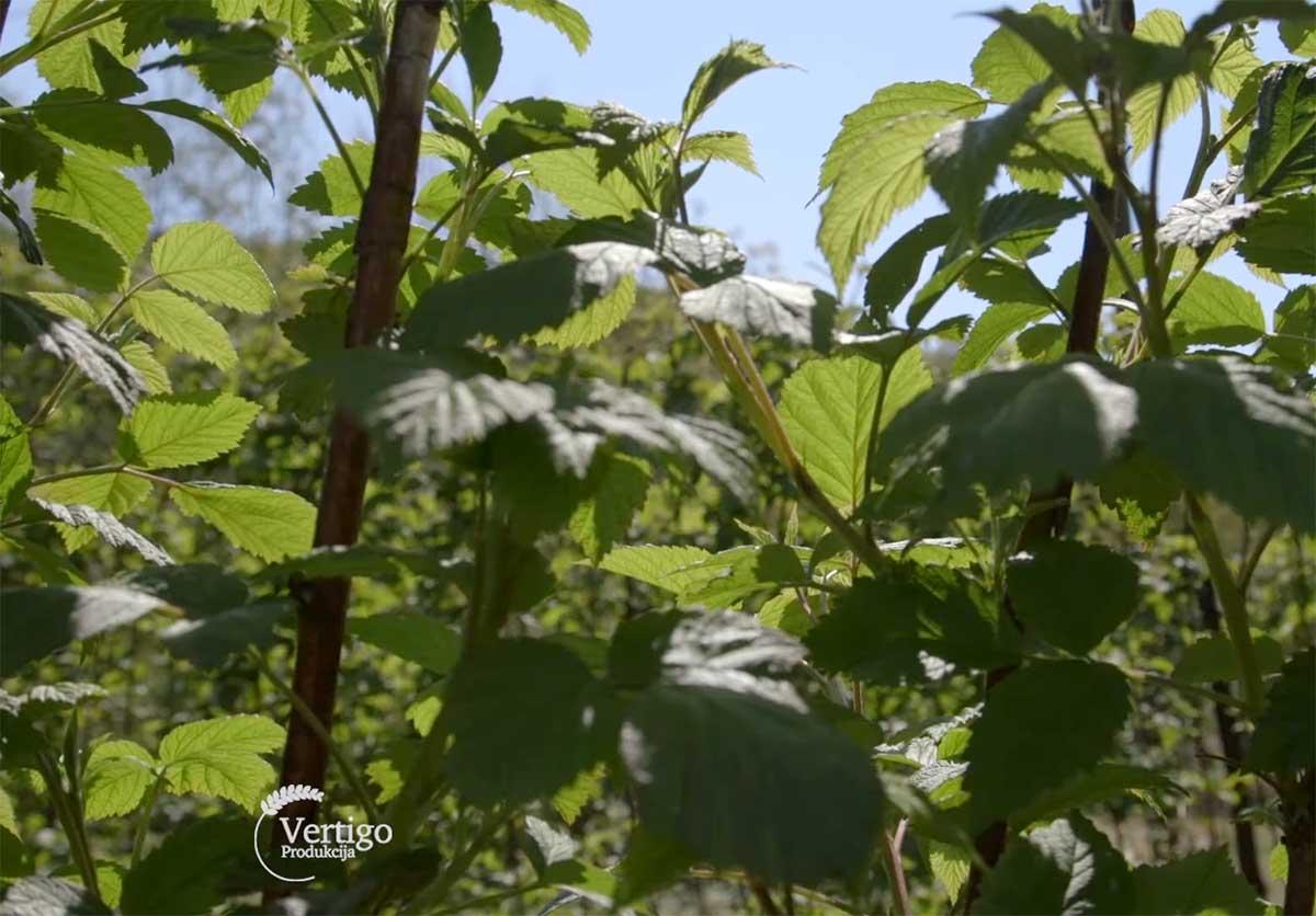 Agrosaveti---Uzgoj-malina-kod-Leskovca---01